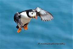 Puffin. (vampiremoi) Tags: flight puffin skomer island nature nikon d500 tamron 150600 g2 240mm wales pembrokeshire 2018 july 15 sunny hot