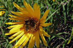 The heart of the sun (TJ Gehling) Tags: insect hymenoptera bee megachilidae leafcutterbee megachile plant flower asterales asteraceae sunflower californiasunflower helianthus helianthuscalifornicus canyontrailpark elcerrito