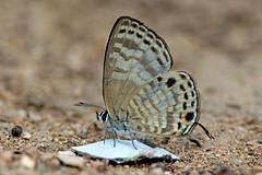 Nacaduba angusta - the White Lineblue (BugsAlive) Tags: butterfly mariposa papillon farfalla schmetterling 蝴蝶 бабочка conbướm ผีเสื้อ animal outdoor insects insect lepidoptera macro nature lycaenidae nacadubaangusta whitelineblue polyommatinae wildlife lamnamkoknp chiangrai liveinsects thailand ผีเสื้อในประเทศไทย thailandbutterflies bugsalive ผีเสื้อฟ้าขีดสี่เมียขาว