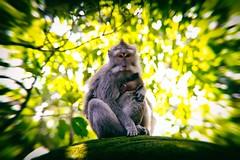 Bali, Foret des singes a Ubud (Calinore) Tags: indonesia indonésie animal singes ubud monkeys
