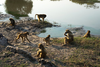 Chobe Riverfront Baboons