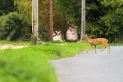 Life on the road (Stickyemu) Tags: wildlife nature deer animal road highway countryside grass green suffolk nikond500 nikon200500mmf56