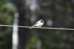 2018-09-10 Bird Watching 19 (s.kosoris) Tags: skosoris nikond3100 d3100 nikon bird birds chickadee camp huronian