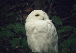 White Owl 700 mm