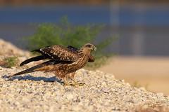 Black Kite (Asa-Photography) Tags: raptor bird prey flight nature wildlife wild wildlifephotography naturephotgraphy nikon nikond850 d850 200500mm nikkor