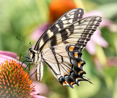 Eastern Tiger Swallowtail (tresed47) Tags: 2018 201808aug 20180808springtonmacro august butterflies canon7dmkii chestercounty content easterntigerswallowtail folder insects pennsylvania peterscamera petersphotos places season springtonmanor summer swallowtail takenby us