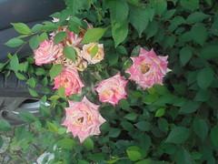 408 (en-ri) Tags: rose roses rosa giallo verde foglie leaves sony sonysti cespuglio bush