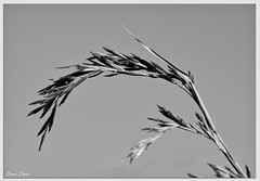 Grass Seed Head (Bear Dale) Tags: grass seed head black white bw monochrome ulladulla south coast new wales shoalhaven australia nikon d850 nikkor afs 70200mm f28e fl ed vr dale lake conjola milton simple silhouette nature fotoworx beardale lakeconjola southcoast framed monocromo negroywhithe noiretblanc photo photograph groups group flickr