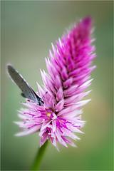 Blue on Purple (Trudie S) Tags: butterfly blue garden flower purple