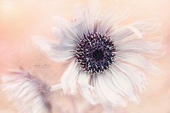 Purple African Thistle (Jacky Parker Photography) Tags: africanthistle flower white summerflower floatypetals floralart flowerphotography beautyinnature freshness flow flora purity closeup selectivefocus nopeople horizontalformat creativeedit nikond750