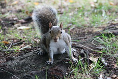 Squirrel in Regent's Park (ec1jack) Tags: kierankelly canoneos600d ec1jack regentspark london england britain uk europe camden august 2018 park summer squirrel animal