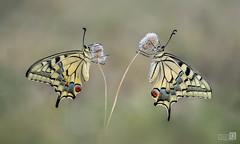 Macaones frente a frente (JoseQ.) Tags: macaon mariposa dobel bicho insecto animal alas macro macrofotografia campo airelibre volar olympus apilado