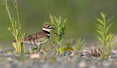 Pluvier kildir // Killdeer (Keztik) Tags: pluvierkildir killdeer charadriusvociferus oiseau bird animal wildlife nature nikon d7500