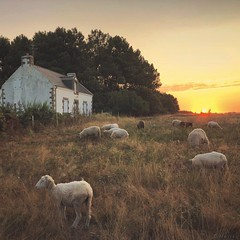 Bucolic Sunrise (M a r i k o) Tags: iphone iphonex iphoneography iphonephotography mobile mobilephotography mariko square sheep sunrise sun light morning house grass meadow carnac morbihan bretagne brittany france snapseed mextures