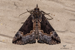 Hypena baltimoralis - Baltimore Hypena (AnthonyVanSchoor) Tags: anthonyvanschoor maryland usa marylandbiodiversityproject mothing hypena baltimoralis baltimore nikond7100 nikkor macro