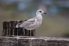 Ring Billed Gull (ausmc_1) Tags: 2018 comox outdoor waterfront gull d800 bird komokscomoxestuary birds wetland canada seagull britishcolumbia vancouverisland august
