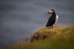Behind (Chris Dreher) Tags: bokeh sky grass puffin bird vestmannaeyjar southernregion iceland is