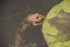 Pool Frog (Pelophylax lessonae) - southern clade (willjatkins) Tags: wildlife nature animal frog poolfrog pelophylax pelophylaxlessonae alienspecies nonnativespecies nonnativewildlife pondlife amphibians frogs britishwildlife britishamphibiansandreptiles britishreptilesandamphibians britishamphibians ukwildlife ukreptilesandamphibians ukamphibiansandreptiles ukfrogs ukamphibians berkshirewildlife greenhamcommonwildlife nikond7100 18300mm