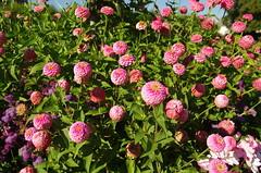 JLF19851 (jlfaurie) Tags: jardin hôteldeville evéché bourges jlfr mechas mpmdf lucila 21082018 flores garden flowers