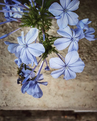 Blue flowers (VillaRhapsody) Tags: flowers summer climbers blue challengeyouwinner cyunanimous