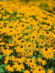 Velvia Susans (Packing-Light) Tags: 120 6x45 mamiya6451000s analog film mediumformat fujichrome velvia50 rvp50 fuji chrome slides e6 vibrant saturated flowers yellow blackeyedsusan