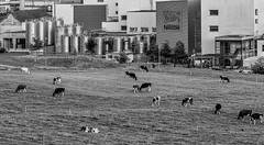 Accentuated Contrast (*Capture the Moment*) Tags: 2018 architektur cows farming gebäude industrie industry kantonbern kühe landwitschaft schweiz sommer sonya7miii sonya7mark3 sonya7m3 sonya7iii sonyfe70200mmf28gmoss sonyilce7m3 switzerland monochrome schwarzweiss