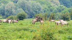 Konikpaarden in de Blauwe Kamer - Wageningen. (Cajaflez) Tags: naturearea natuurgebied deblauwekamer wageningen konikpaarden paarden horses ngc