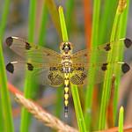a late summer immature male Calico pennant thumbnail