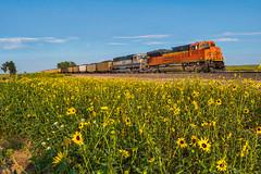 RR-20180813-BrushSub-5-e (skyviewtim) Tags: bnsf8770 coalload coloradorailroads coloradotrains roggen sunflowers colorado unitedstates us