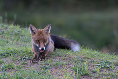 SNY_1432-1.jpg (steph-55) Tags: nikond800 nikon200500f56 steph55 renard fox loraine meuse verdun faune vulpesvulpes fuchs renardroux