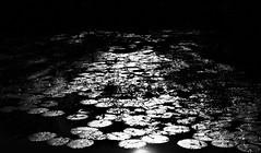 Dangerous Waters (Harald Philipp) Tags: kakadu australia nikon d810 crocodile nationalpark nikkor swamp lilypads blackandwhite bw travel tourism tropical contrast northernterritory pointstuart boat dangerous
