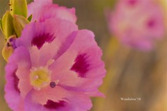(WendieLarson) Tags: wickedhair wendielou wildflower wildflowers wendielarson wild flower fleurs flowers fiori flora d7000 sierranevada sequoianationalpark summer california color bloom blossom bigmeadows nikon nature nationalparks mountains macro meadow landscape landscapes petals pink green 40mm plant outside outdoors
