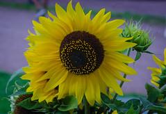 Sunflower (frankmh) Tags: plant flower sunflower sofiero helsingborg skåne sweden macro