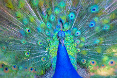 Pretty as a... (<Phantasmagoria>) Tags: 105mm 7dwf torontozoo toronto peacock feathers allthecolours inspiresbyothers greens fauna bird