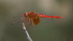 Orange-winged dropwing Portrait (jrosvic) Tags: trithemiskirbyi libellulidae dragonfly libélula odonata anisoptera entomology