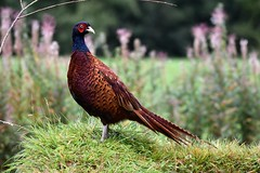 Pheasant standing tall (karen leah) Tags: bird wildlife nature outdoors green martonheath september beauty pheasant gamebird