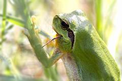 """déjeuner trop copieux"" (jp Loazo) Tags: grenouille"