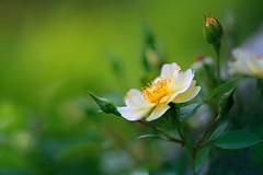 Summer Rose (lfeng1014) Tags: flowermacro flower dof depthoffield ef100mmf28lmacroisusm canon5dmarkiii green bokeh closeup macro summer rose summerrose