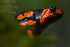 El diablito (Oophaga histrionica) (pbertner) Tags: rainforest southamerica colombia harlequinfrog pacificcoastal choco nuqui morromico endangered threatened amphibian oophagahistrionicus poisonarrowfrog poisondartfrog