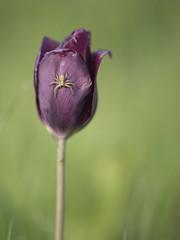 Araignée sur une tulipe * (Titole) Tags: spider tulip purple titole nicolefaton shallowdof friendlychallenges