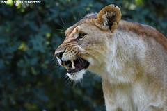 African lioness - Olmense Zoo (Mandenno photography) Tags: animal animals african dierenpark dierentuin dieren olmense olmensezoo olmen bigcat big cat belgie belgium lion lions leeuw leeuwen lioness leeuwin zoo