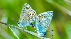 Do Not Disturb - 5850 (ΨᗩSᗰIᘉᗴ HᗴᘉS +24 000 000 thx) Tags: donotdisturb butterfly sliderssunday hss macro sexe green blue nature hensyasmine namur belgium europa aaa namuroise look photo friends be wow yasminehens interest intersting eu fr greatphotographers lanamuroise