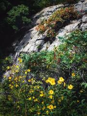 Wild Flowers & Rocks Closer (Kent DuFault) Tags: wildflowers flowers rocks landscape minnesota jaycookestatepark nature