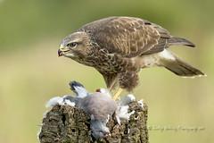 Buzzard (pixellesley) Tags: buzzard bird birdwatching feeding hunting perched wary raptor hunter powerful wildlife wild free