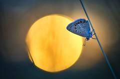 Sunset (donlope1) Tags: macro nature light papillon butterfly sunset sun flare bokeh wildlife proxy