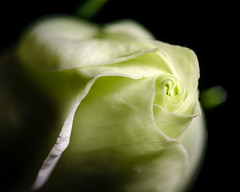 Lowkey Macro Flower (CarnivoreDaddy) Tags: lowkey macro flower macrolens speedlite softbox petals green spiral abstract bokeh depthoffield nikon d7000 tamron tamron60mmf2 yongnuo yn568ex