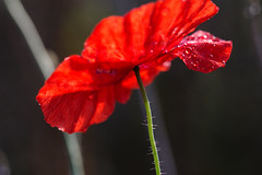Shades of red 2 (herman hengelo) Tags: poppy dewdrups klaproos rood red deurningen thenetherlands autumn macro