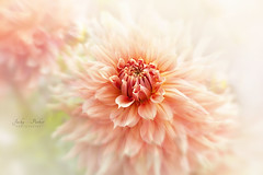 Orange Dahlia (Jacky Parker Photography) Tags: dahlia flower orange summerflower summergarden closeup selectivefocus freshness fragility beautyinnature floralart vitality perennial flora inbloom summer flowerphotography nikon
