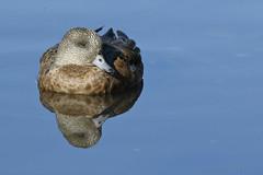 Rest and Reflection (danielusescanon) Tags: wild americanwigeon marecaamericana anseriformes anatidae resting spenardcrossing anchorage alaska water reflection duck waterfowl bird