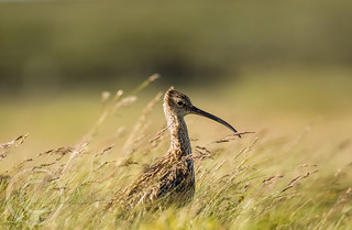 June in the Pennines 213 - Windswept Curlew